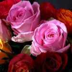 薔薇(バラ)の奥深い花言葉…本数と色で意味が変わる!