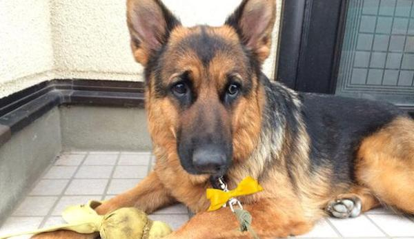 黄色いリボンをつけてる犬に近寄ってはいけない…イエロードッグプロジェクトとは…