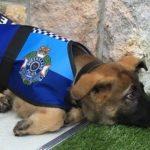 人懐っこすぎて警察犬を解雇された犬…名誉ある職務に抜擢されて才能を発揮しまくっていた…