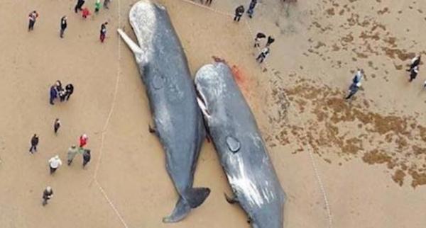 ドイツの海岸に大量のクジラの死骸…胃から出てきたものに全世界が衝撃を受ける…