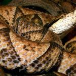 世界最凶の猛毒ヘビ「ヒャッポダ」に人間が噛まれると…衝撃の画像がSNSで話題に…
