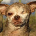 10年間小さな檻の中でパピーミル(子犬工場)として子犬を産み続けたチワワ…その壮絶な生涯が話題に…