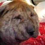 首には靴紐、体内には空気銃の弾…身勝手な虐待された犬が保護されて見違える姿に…