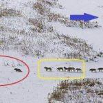 狼の群れから学ぶリーダー形成…先頭集団がリーダーではなかった…