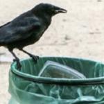 テーマパークで清掃員として雇われた6羽のカラス…訓練されたカラスが凄いと話題に…