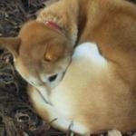 愛犬が体を丸めて寝てたら要注意?体を丸めて寝る3つの理由…