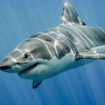 なぜホホジロザメは水族館にいないのか…実は展示するのが難しいサメだった…