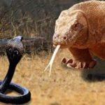コモドオオトカゲVSキングコブラ…壮絶な戦いの貴重映像が話題に…