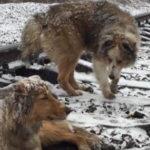 線路上で負傷したメス犬をそばで見守るオス犬…列車が近づいても逃げ出すことはなかった…