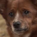メス牛を母親代わりに育ってきた犬…ある日、その牛が売られ、涙を流して別れを惜しむ犬の姿を見て胸が張り裂ける…
