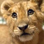 人間の身勝手で飼われ、捨てられたライオン…彼が毛布を手放せない理由に涙…