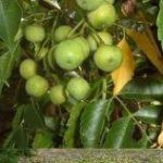 触るだけでアウトな死の小林檎…地球上で最も危険な木がガチでヤバいと話題に…